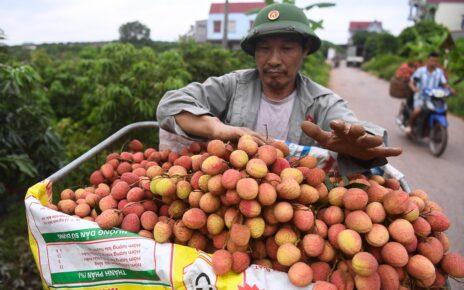 Bắc Giang tiêu thụ gần 7.300 tấn vải thiều sớm